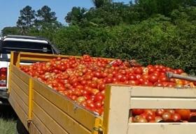 El precio entre comerciante y productor: Venden el tomate 2.200% más caro que los horticultores