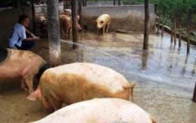 La producción de carne porcina subió 6% en 2016 y marcó un nuevo récord